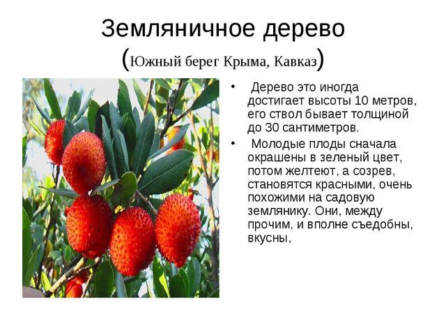 Земляничное дерево (Южный берег Крыма, Кавказ) Дерево это иногда достигает в...