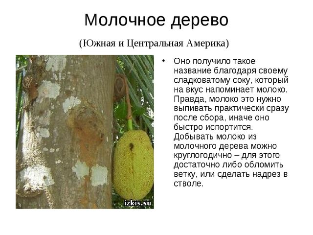 Молочное дерево (Южная и Центральная Америка) Оно получило такое название бла...