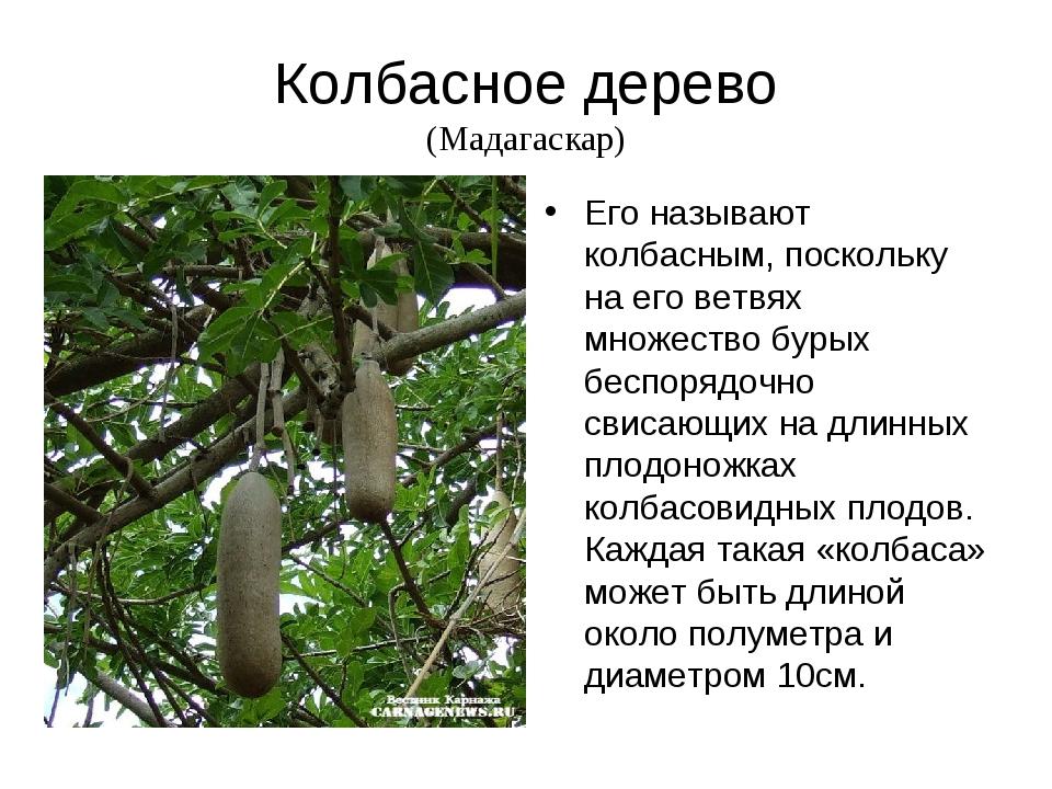Колбасное дерево (Мадагаскар) Его называют колбасным, поскольку на его ветвях...