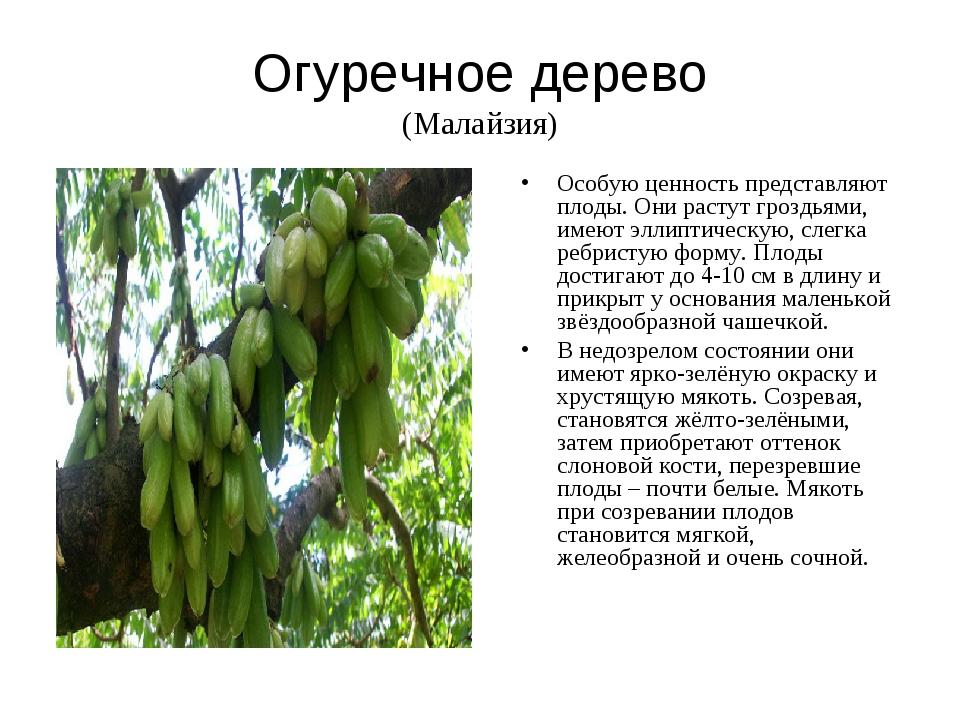 Огуречное дерево (Малайзия) Особую ценность представляют плоды. Они растут гр...