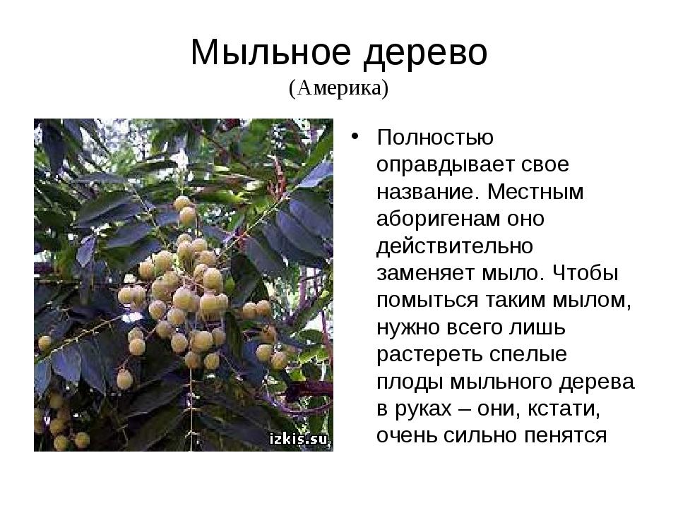 Мыльное дерево (Америка) Полностью оправдывает свое название. Местным абориге...