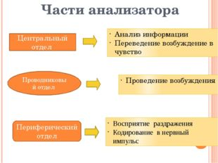 Части анализатора Периферический отдел Проводниковый отдел Центральный отдел