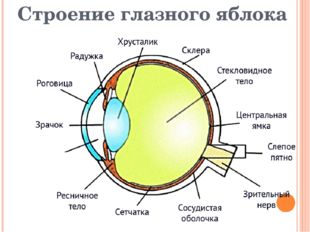 Строение глазного яблока