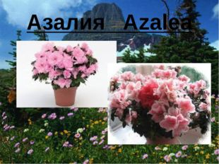 Азалия Azalea