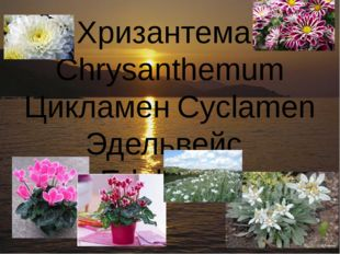 Хризантема	Chrysanthemum Цикламен	Cyclamen Эдельвейс	Edelweiss