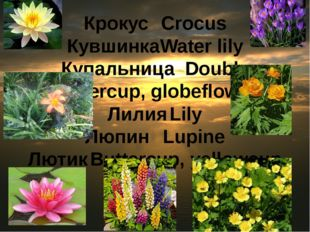 Крокус	Crocus Кувшинка	Water lily Купальница	Double buttercup, globeflower Ли