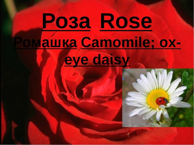 Роза	Rose Ромашка	Camomile; ox-eye daisy