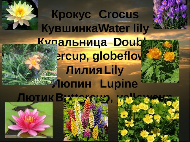 Крокус	Crocus Кувшинка	Water lily Купальница	Double buttercup, globeflower Ли...