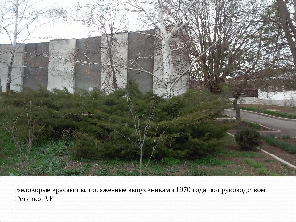 Белокорые красавицы, посаженные выпускниками 1970 года под руководством Ретяв...