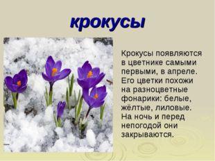 крокусы Крокусы появляются в цветнике самыми первыми, в апреле. Его цветки по