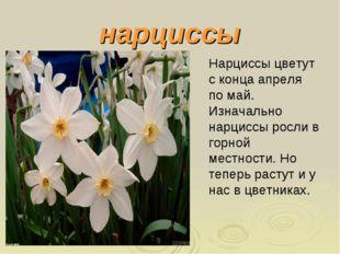 нарциссы Нарциссы цветут с конца апреля по май. Изначально нарциссы росли в г