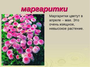 маргаритки Маргаритки цветут в апреле – мае. Это очень изящное, невысокое рас