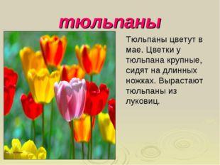 тюльпаны Тюльпаны цветут в мае. Цветки у тюльпана крупные, сидят на длинных н