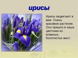 ирисы Ирисы зацветают в мае. Очень красивое растение. Оно пришло в наши цветн