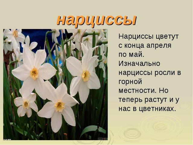 нарциссы Нарциссы цветут с конца апреля по май. Изначально нарциссы росли в г...