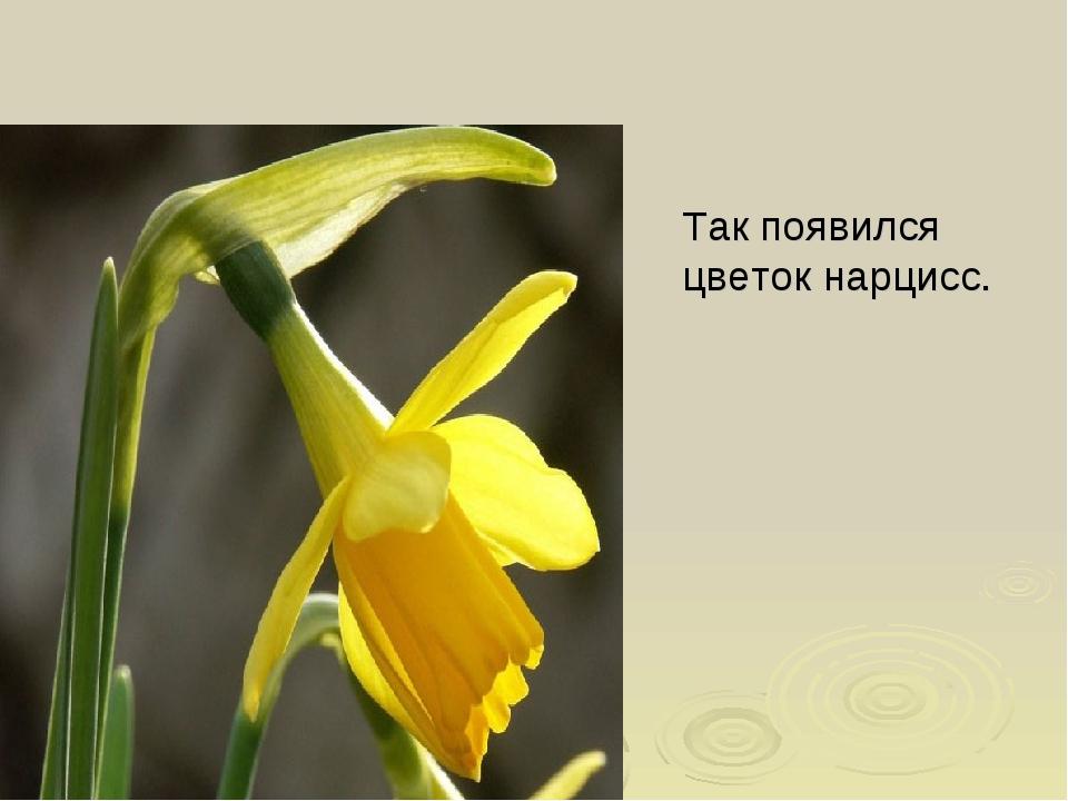 Так появился цветок нарцисс.