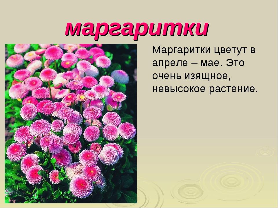 маргаритки Маргаритки цветут в апреле – мае. Это очень изящное, невысокое рас...
