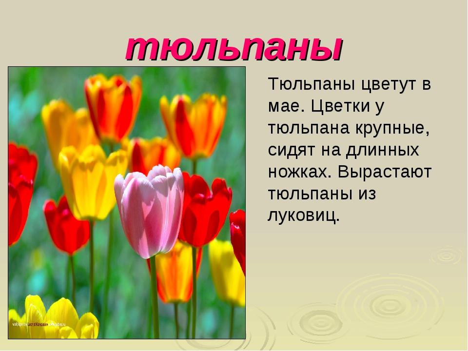 тюльпаны Тюльпаны цветут в мае. Цветки у тюльпана крупные, сидят на длинных н...