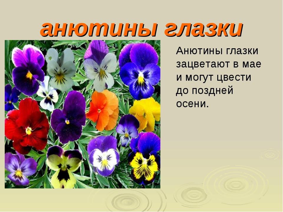 анютины глазки Анютины глазки зацветают в мае и могут цвести до поздней осени.