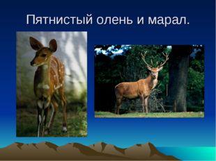 Пятнистый олень и марал.
