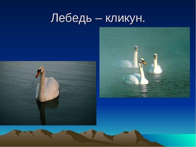 Лебедь – кликун.