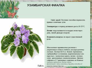 УЗАМБАРСКАЯ ФИАЛКА Свет:яркий. Растение способно переносить прямые солнечные