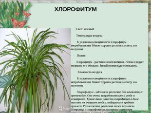 ХЛОРОФИТУМ Свет: зеленый Температура воздуха К условиям освещённости хлорофит