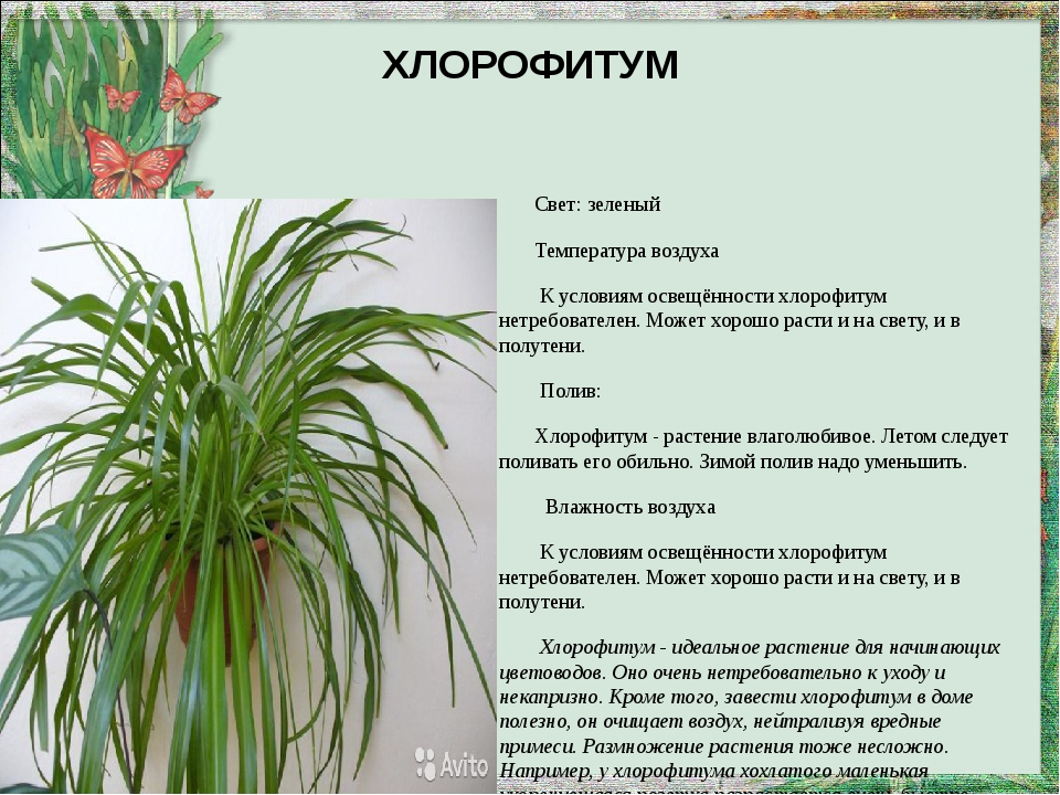 ХЛОРОФИТУМ Свет: зеленый Температура воздуха К условиям освещённости хлорофит...