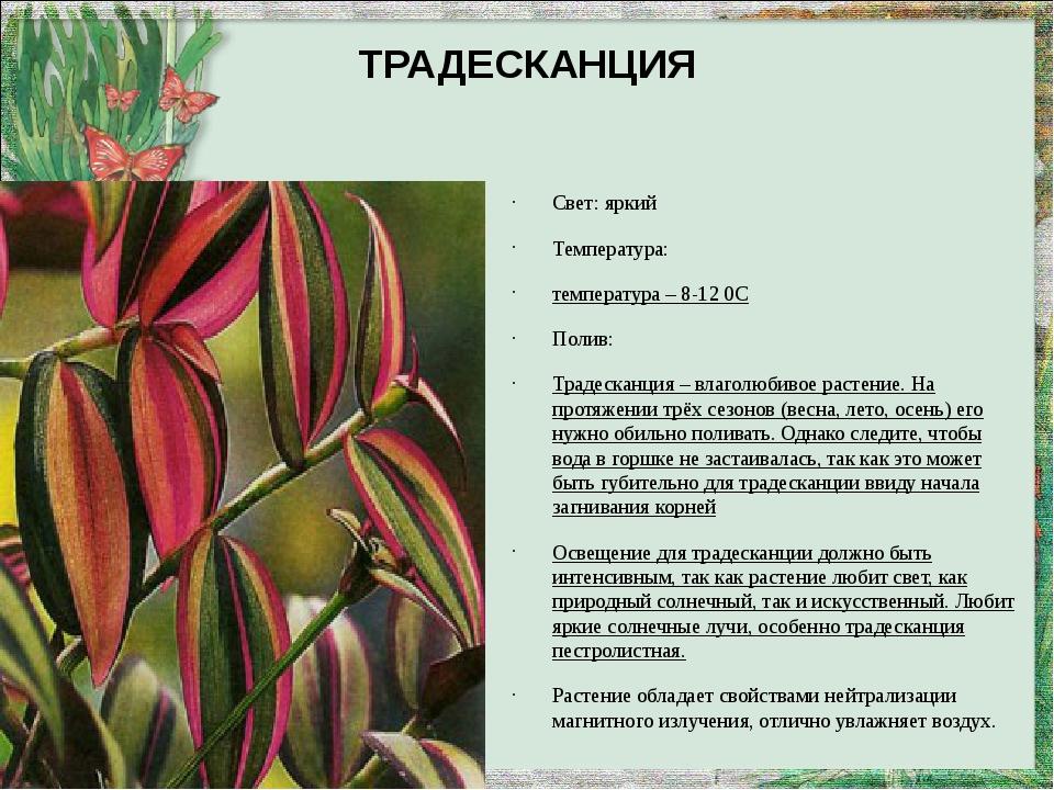ТРАДЕСКАНЦИЯ Свет: яркий Температура: температура – 8-12 0С Полив: Традесканц...