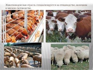 Животноводческая отрасль специализируется на птицеводстве, молочном и мясном
