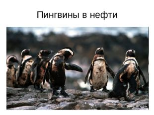 Пингвины в нефти