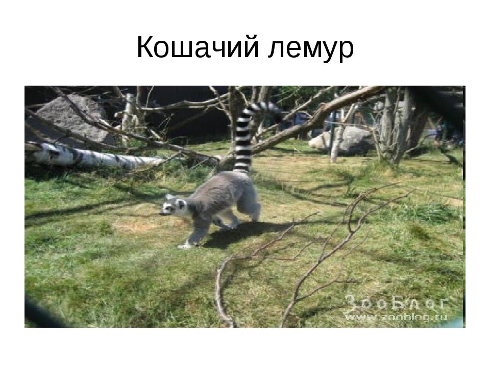 Кошачий лемур