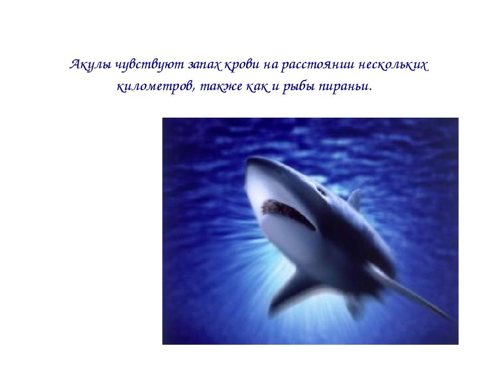 Акулы чувствуют запах крови на расстоянии нескольких километров, также как и...