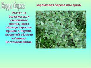Растёт на болотистых и сыроватых местах, часто образуя заросли- ерники в Якут