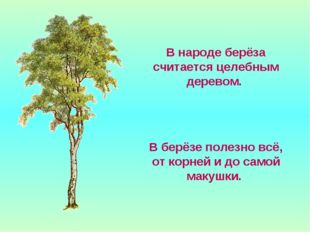 В народе берёза считается целебным деревом. В берёзе полезно всё, от корней и