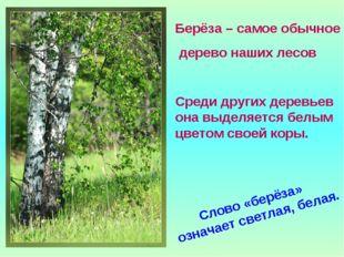 Берёза – самое обычное дерево наших лесов Среди других деревьев она выделяетс