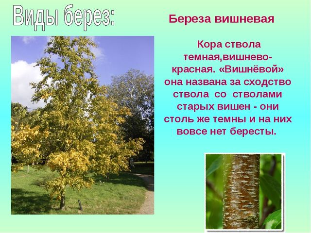 Береза вишневая Кора ствола темная,вишнево-красная. «Вишнёвой» она названа з...