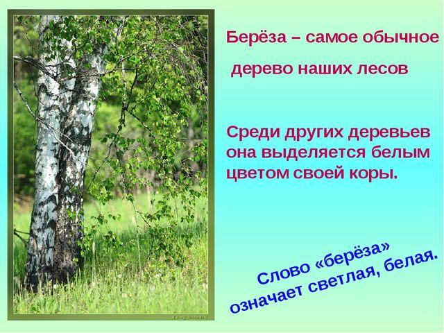 Берёза – самое обычное дерево наших лесов Среди других деревьев она выделяетс...