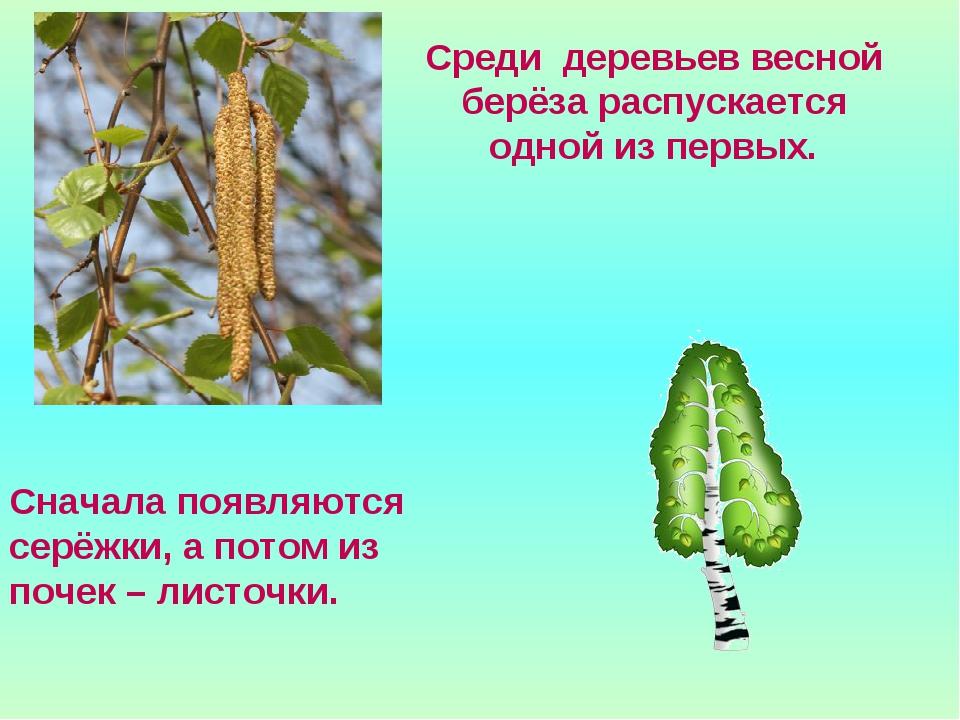 Среди деревьев весной берёза распускается одной из первых. Сначала появляются...