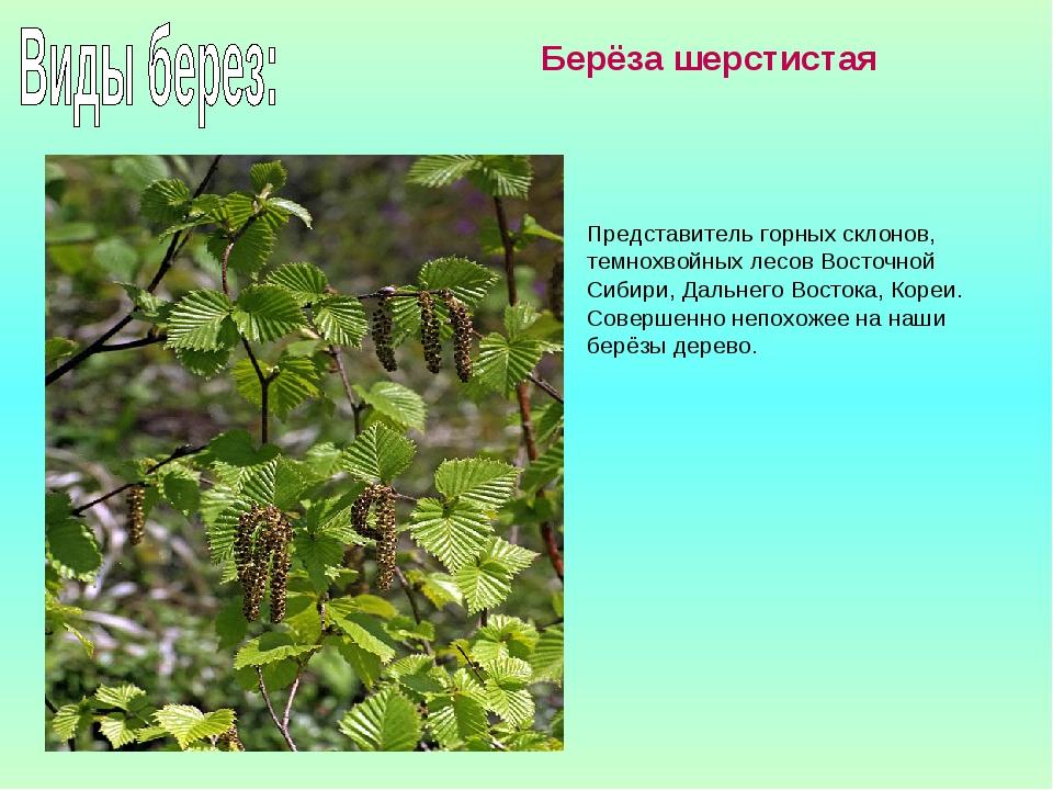 Представитель горных склонов, темнохвойных лесов Восточной Сибири, Дальнего В...