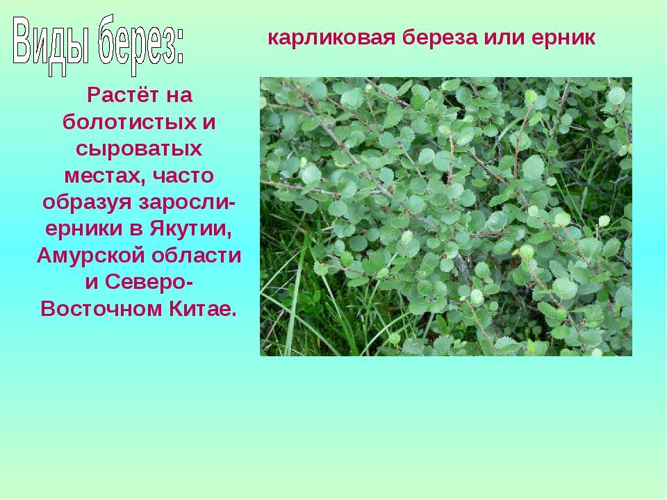 Растёт на болотистых и сыроватых местах, часто образуя заросли- ерники в Якут...