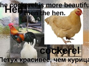 Hen cockerel Петух красивее, чем курица. The cockerel is more beautiful then