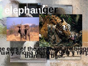 elephant tiger Уши у слона больше чем у тигра. The ears of the elephant are