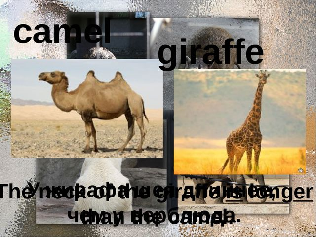 camel giraffe У жирафа шея длиннее, чем у верблюда. The neck of the giraffe...