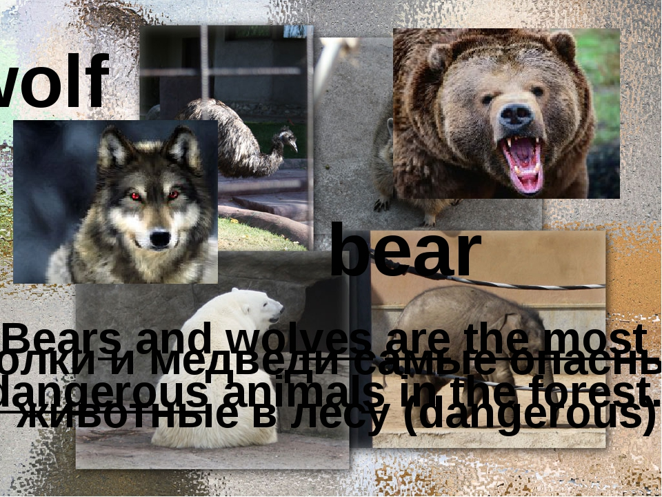 wolf bear Bears and wolves are the most dangerous animals in the forest. Вол...