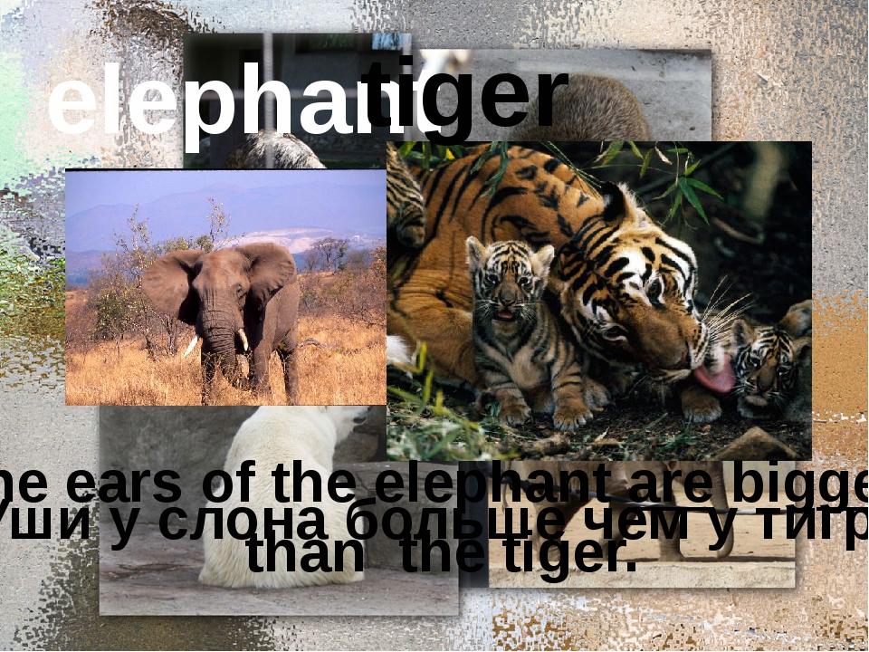elephant tiger Уши у слона больше чем у тигра. The ears of the elephant are...