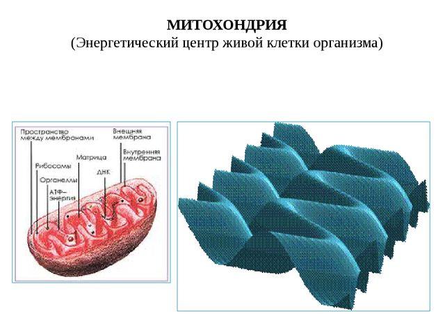 МИТОХОНДРИЯ (Энергетический центр живой клетки организма)