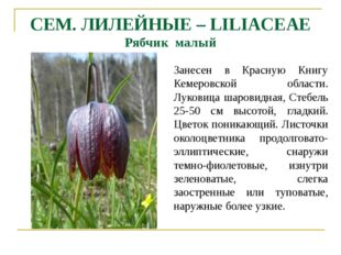 CEM. ЛИЛЕЙНЫЕ – LILIACEAE Рябчик малый Занесен в Красную Книгу Кемеровской об