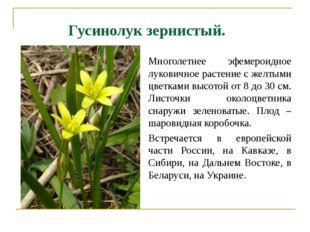 Гусинолук зернистый. Многолетнее эфемероидное луковичное растение с желтыми ц