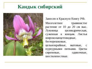 Кандык сибирский Занесен в Красную Книгу РФ. Многолетнее травянистое растение